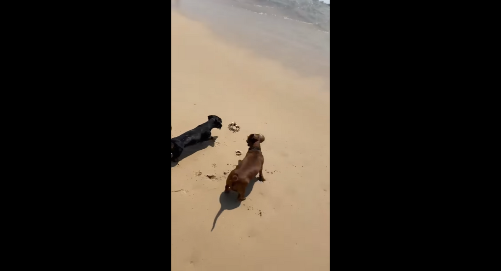 Dachshunds Dig Up Angry Crustacean
