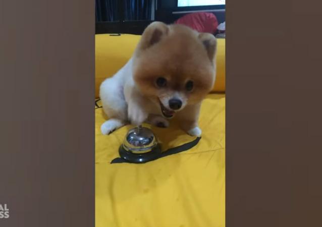 Bossy Pomeranian Rings Bell for Food