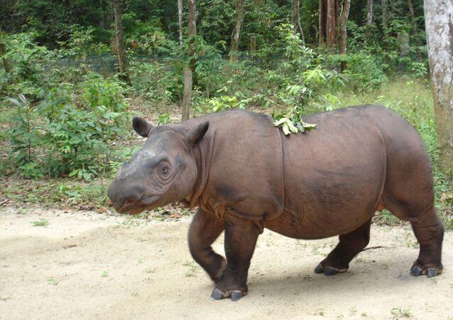 Sumatran Rhinoceros (Dicerorhinus sumatrensis sumatrensis) named Ratu at Sumatran Rhino Sanctuary, Way Kambas, Lampung Province, Sumatra Island, Indonesia