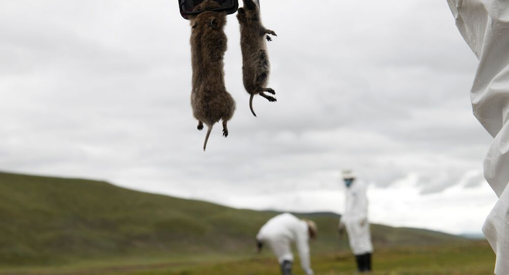 A member of the plague prevention team under a local disease control and prevention centre holds rodents on a grassland in Serxu county, Garze Tibetan Autonomous Prefecture, Sichuan province, China August 28, 2019