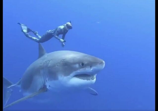 20ft Great White Shark