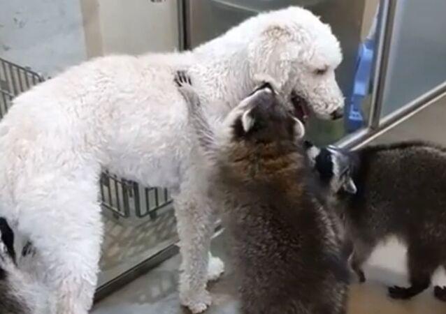 Dog and Raccoons