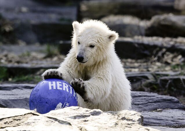 The polar bear cub Hertha