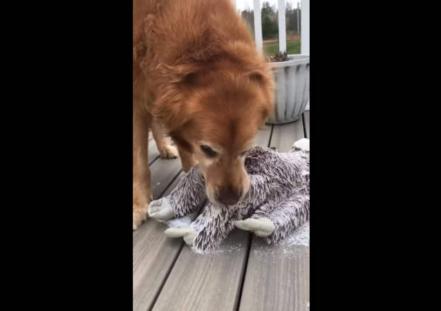 Golden Retriever Works Hard to Save Frozen Toy