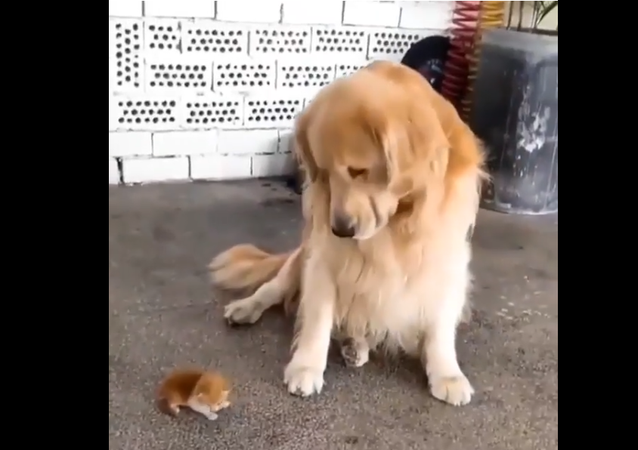 Golden Retriever and Kitten