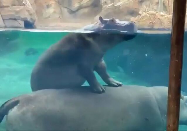 All Aboard! Fiona the Hippo Takes Ride Atop Mom