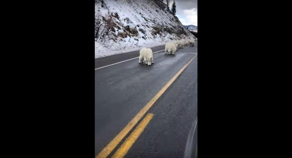 Traffic Jam! Mountain Goats Block Wyoming Road