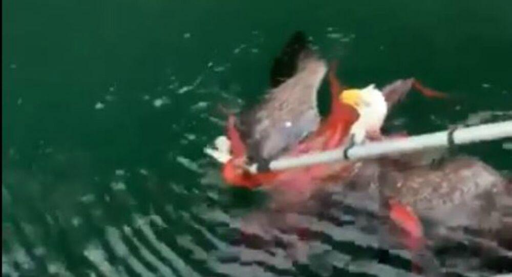 Prey Becomes Predator: Bald Eagle Caught in Octopus Death Grip in Canada