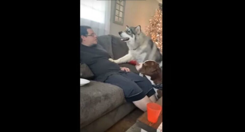 Impatient Husky Argues With Master Over Treat Allowance