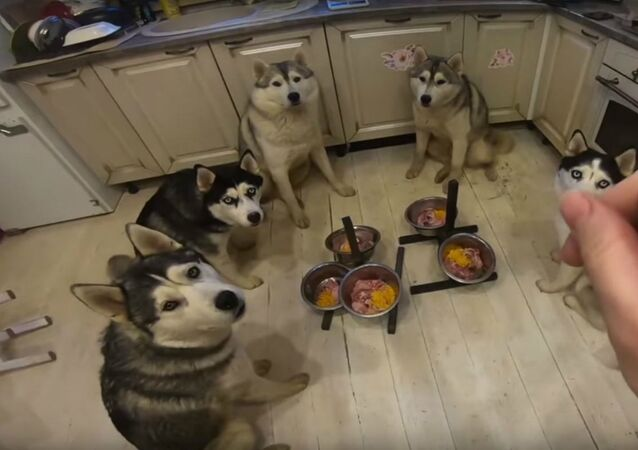 Well-Behaved Husky Pack Eats in Unison