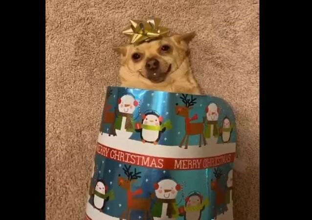 Adorable Chihuahua Turns Into Holiday Present