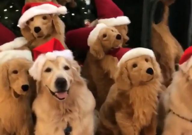 'Tis the Season! Festive Golden Retrievers Pose Alongside Mini Plush Toys