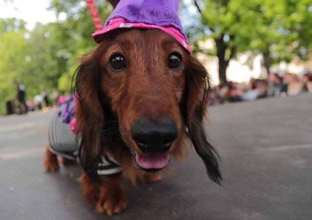 A Dachshund dog dressed in a costume takes part in a dogs parade, in Saint Petersburg, Russia.