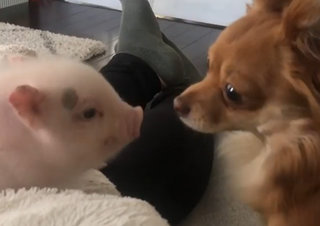 Leave Me Alone! Puppy Resists Piglet Kisses