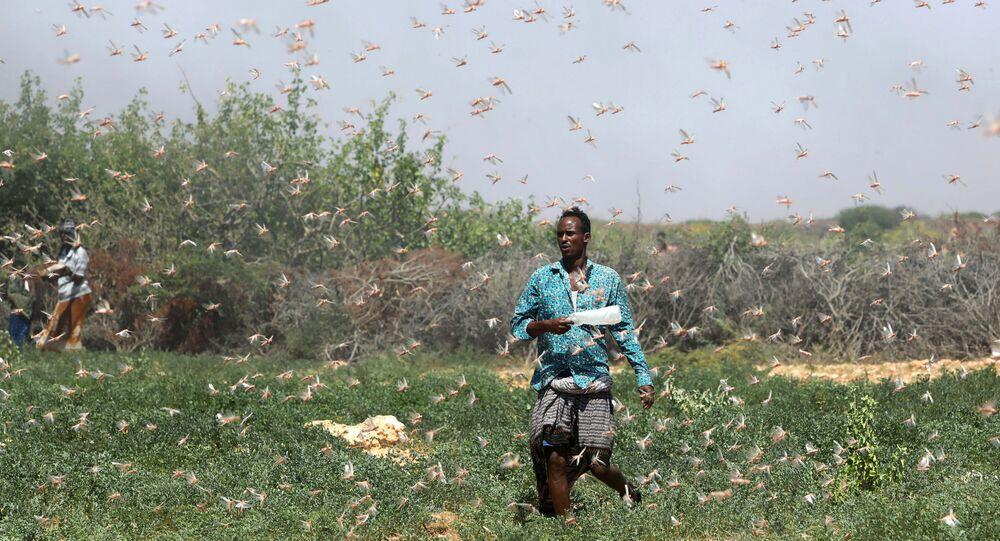 A Somali farmer walks within desert locusts in a grazing land on the outskirt of Dusamareb in Galmudug region, Somalia December 21, 2019.