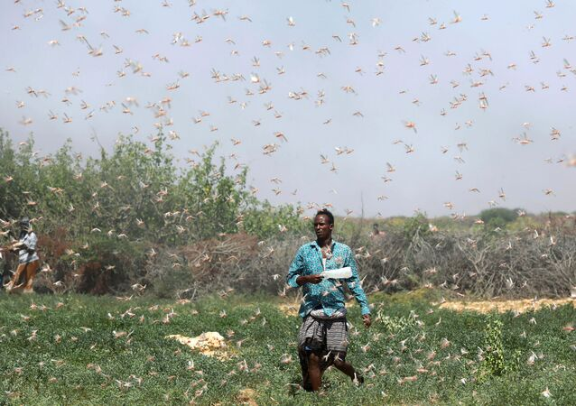 A Somali farmer walks within desert locusts in a grazing land on the outskirt of Dusamareb in Galmudug region, Somalia December 21, 2019.