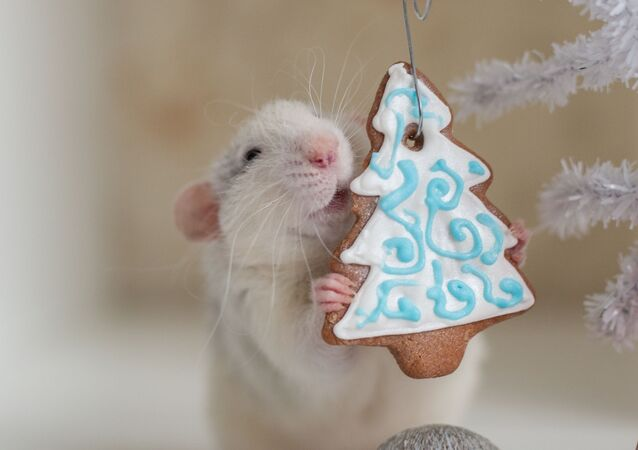 A New Year present for a rat