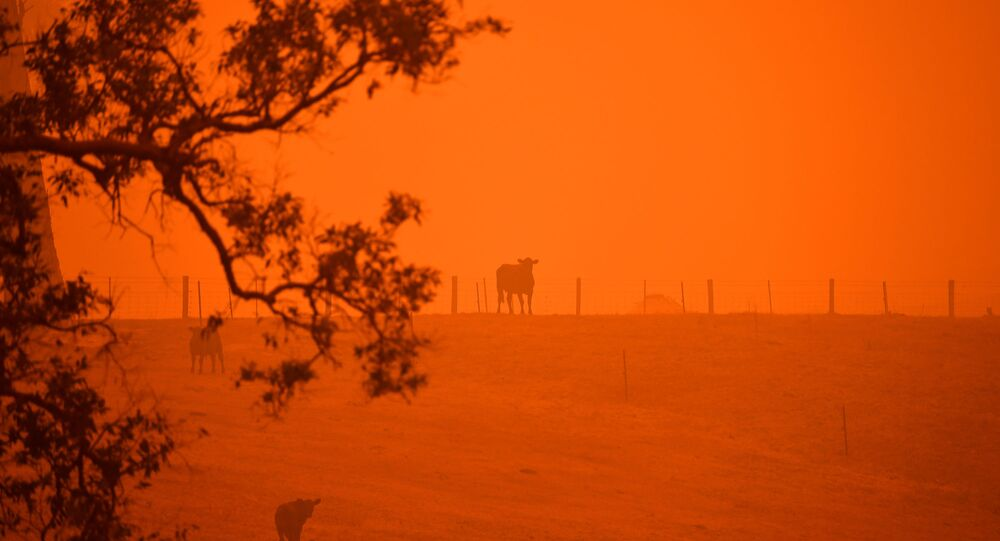 Cattle stand in a field under a red sky caused by bushfires in Greendale on the outskirts of Bega, in Australia's New South Wales state on 5 January 2020.