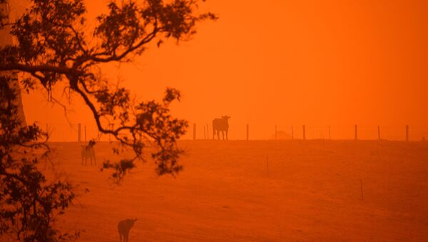 Cattle stand in a field under a red sky caused by bushfires in Greendale on the outskirts of Bega, in Australia's New South Wales state on January 5, 2020. - Sputnik International