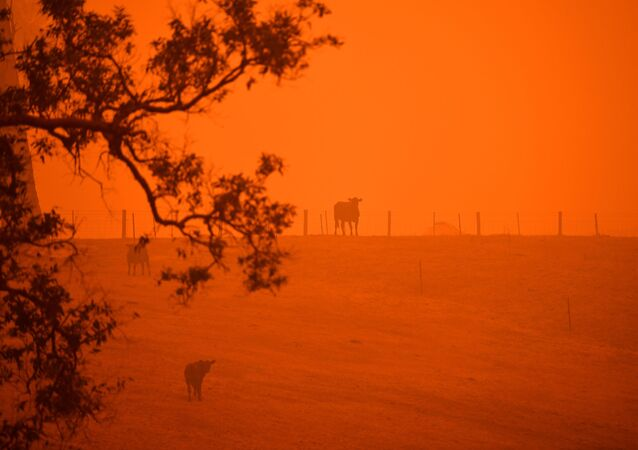 Cattle stand in a field under a red sky caused by bushfires in Greendale on the outskirts of Bega, in Australia's New South Wales state on January 5, 2020.