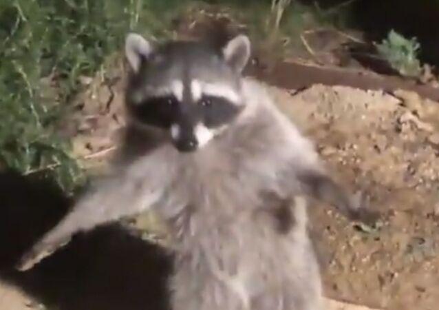 Raccoon Hands up