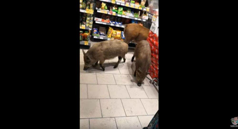 Hogwild: Escaped Pigs Explore Russian Supermarket