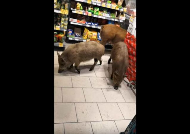 Hogwild: Escaped Pigs Explore Russian Supermarket