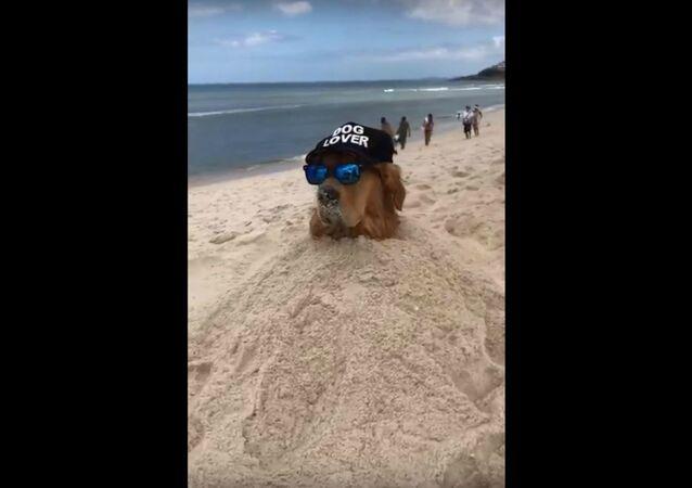 Beachy Brazilian Golden Retriever Chills In Sand
