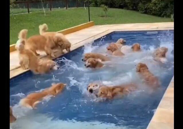 Puppy Pool Paradise: Dozens of Golden Retrievers Enjoy Wet Fête