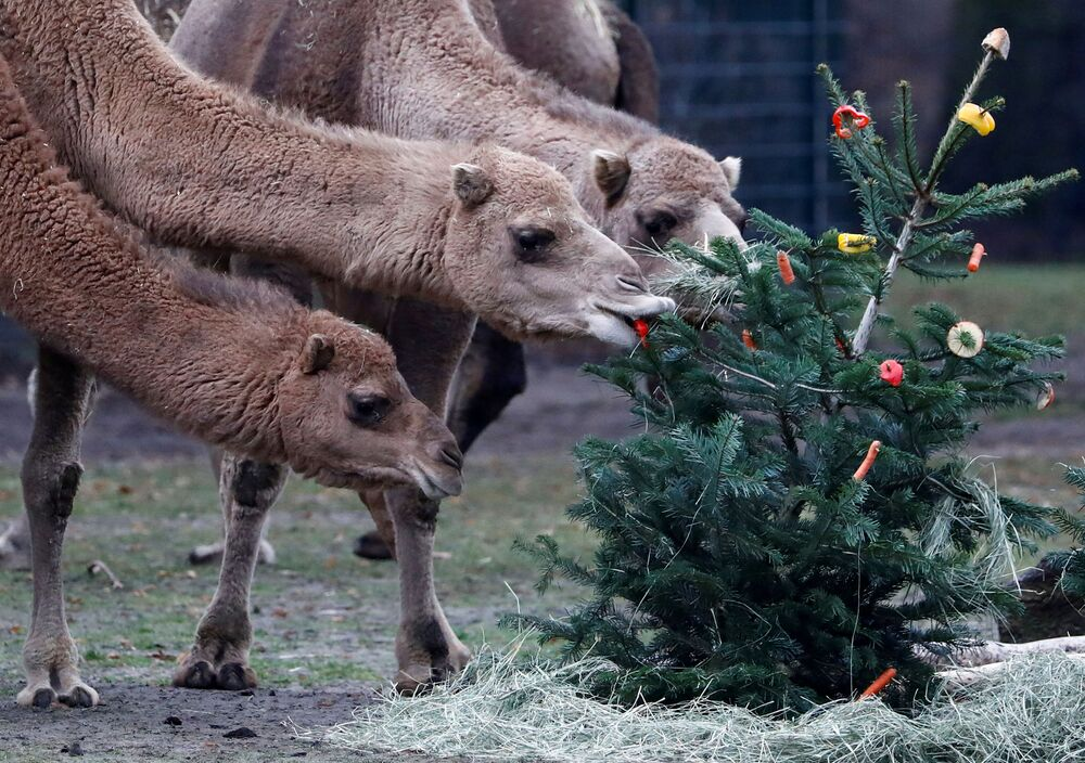 Tierpark Zoo feeds camels with leftover Christmas trees in Berlin, Germany, 3 January 2020.