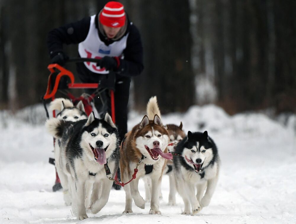 Siberian husky dogs participating in sledge dog racing in Russia.