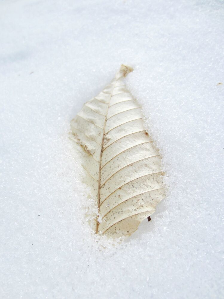 A dry leaf covered in snow