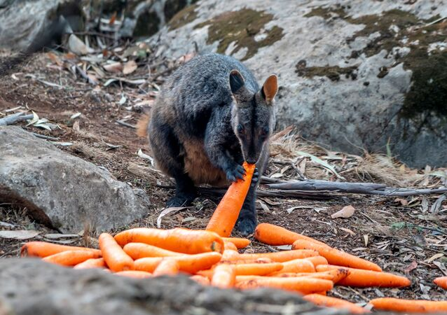 A wallaby eats a carrot after NSW's National Parks and Wildlife Service staff air-dropped them in bushfire-stricken areas around Wollemi and Yengo National Parks, New South Wales, Australia January 11, 2020. Picture taken January 11, 2020. NSW DPIE Environment, Energy and Science/Handout via REUTERS  THIS IMAGE HAS BEEN SUPPLIED BY A THIRD PARTY. MANDATORY CREDIT. NO RESALES. NO ARCHIVES