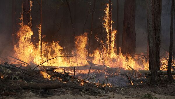 Flames from a controlled fire burn up tree trunks as firefighters work at building a containment line at a wildfire near Bodalla, Australia, Sunday, Jan. 12, 2020. Authorities are using relatively benign conditions forecast in southeast Australia for a week or more to consolidate containment lines around scores of fires that are likely to burn for weeks without heavy rainfall. (AP Photo/Rick Rycroft) - Sputnik International