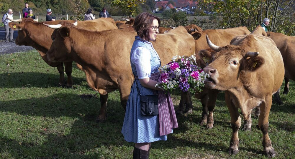cow's headdress before driving the beasts on a dirt road during the return of the cattle from the summer pastures in the Rhoen mountains near the Bavarian Frankish village Ginolfs, Germany