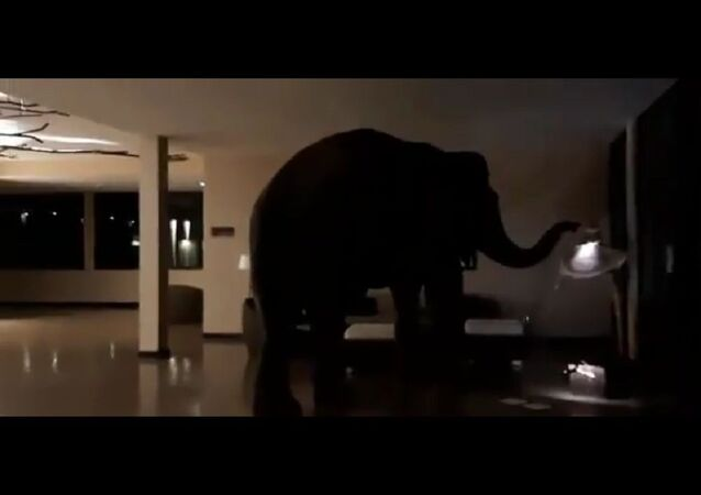 Woke up to a text from my mom about how a wild elephant went into a Sri Lankan hotel and gently wandered around while poking stuff with his trunk
