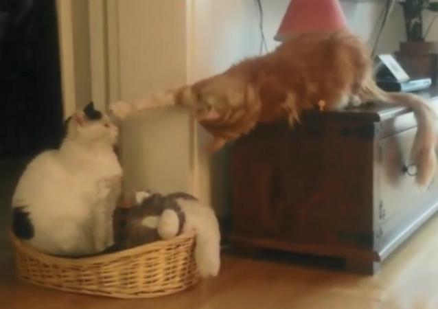 I'm Not Touching You! Mischievous Cat Pesters Fellow Feline