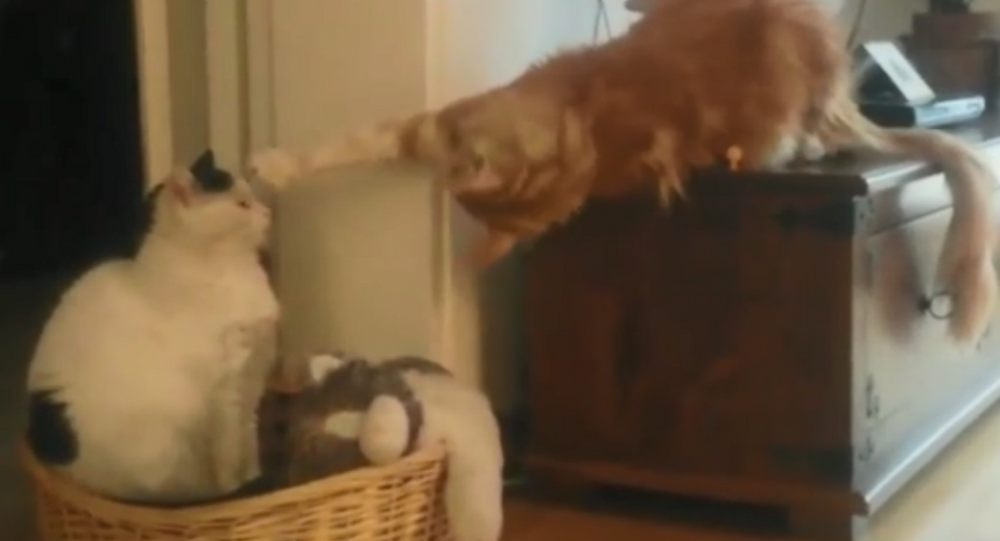 I'm Not Touching You! Mischievous Cat Pesters Fellow Feline