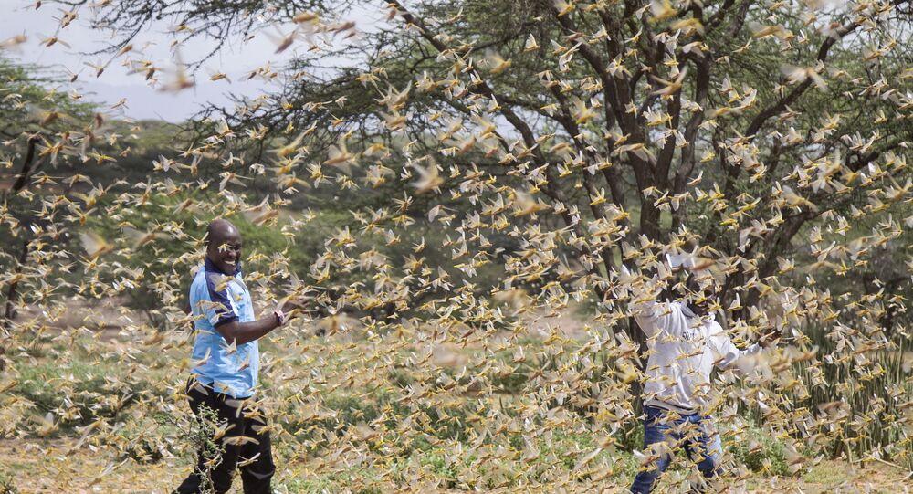Swarm of desert locusts near the village of Sissia, in Samburu county, Kenya