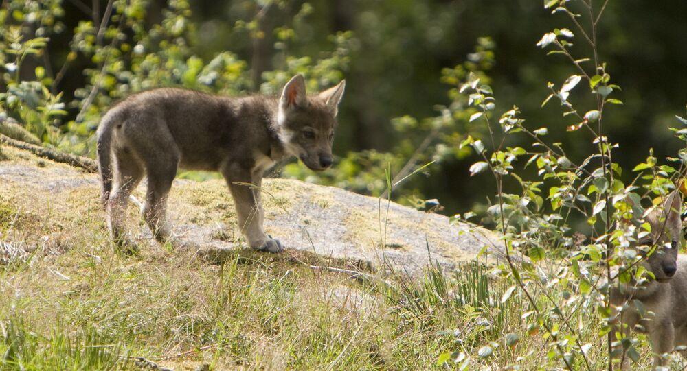 Wolf Cubs