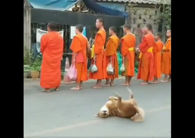 A dog with the monks at a temple in Laos