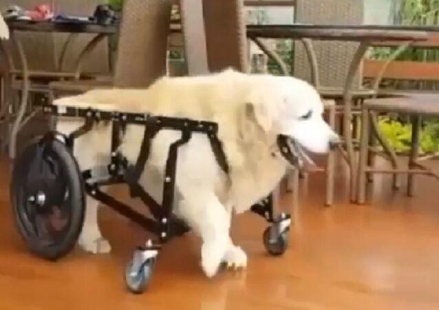 Golden retriever on a wheelchair