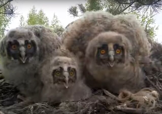 Owls in the Nest