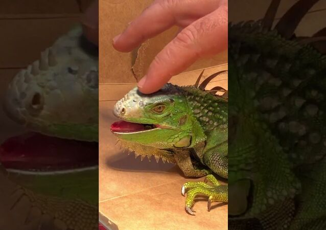 How to Revive a 'Frozen' Iguana: Florida Man Resuscitates Lizard Found on the Road