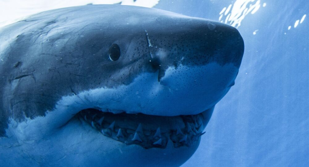 Guadalupe Island Great White Shark Face On