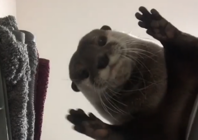 Put Me In, Coach! Cute Otter Plays Game of Pass the Ball