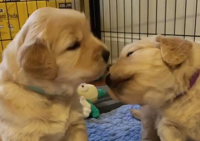 Golden retriever puppies kiss each other