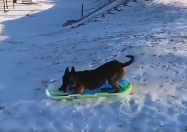 Savvy Shepherd Sleds Downhill