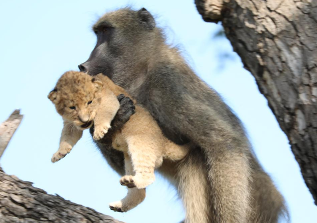 Baboon and Lion Cub