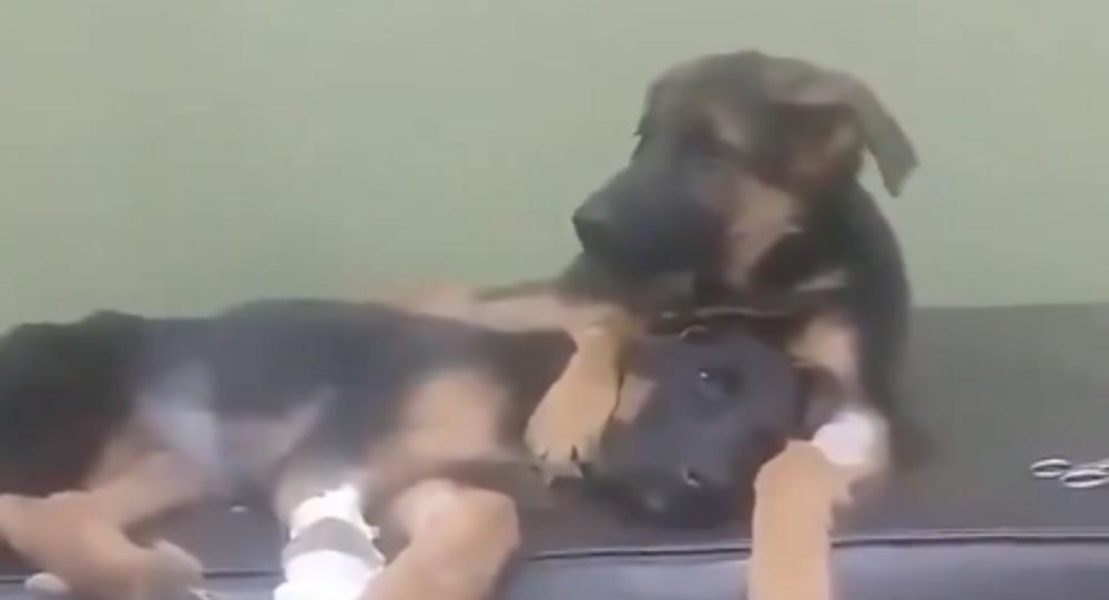 German Shepherd Comforts Sibling After Surgery